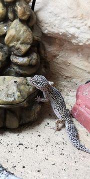 3 Leopardgeckoweibchen Terrarium mit Zubehör