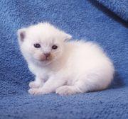 Ragdoll Bkh Mix Kätzchen abzugeben
