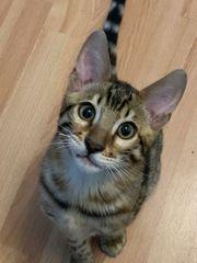 zum Verkaufen Reinrassigen Bengal kitten