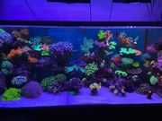 Meerwasser Koralle diverse Ableger