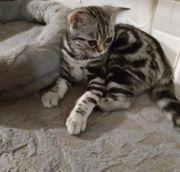 Whiskas BKH Kitten Reinrassig
