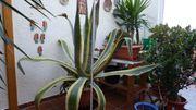 Große Agave americana variegata