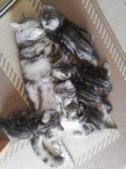 Kitten BKH Black Silver Tabby