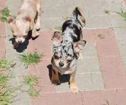 Chihuahua Welpen Merle 5 Monate