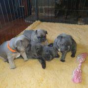Wunderschöne französische Bulldoggenwelpen bereit für