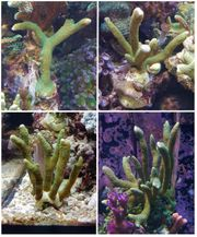 Meerwasseraquaristik - SPS Korallen für Einsteiger -