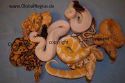 Königspythons Babys bis Adult Schlangen