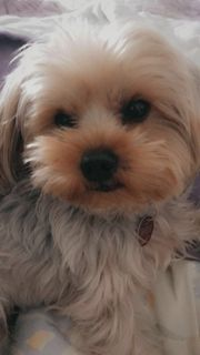 Deckrüde Yorkshire Terrier Zampano Of