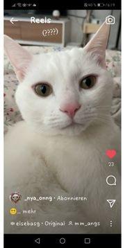Suche weiße Katze