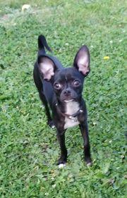 Schwarzer reinrassiger Chihuahua Rüde sucht