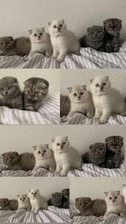 Britisch Kurz Haar Kitten