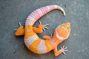 Leopardgeckos Nachzuchten