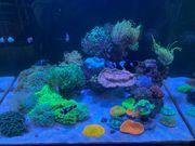 Meerwasser Korallen Aquarium euphyllia glabrescens
