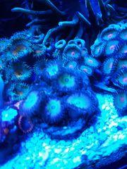 Korallenableger 15 -