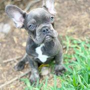 Top gesunde französische Bulldoggen Welpen