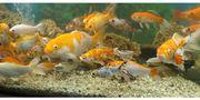Kaltwasser Fische