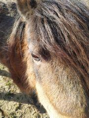 shetty pony stute 8 jahre
