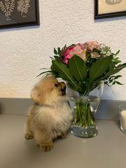 Pomeranian spitz Mädchen mini mini