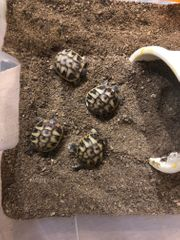 Griechische Landschildkröten - NZ 2019