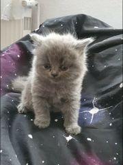 Scottisch Fold BKH Kitten reserviert