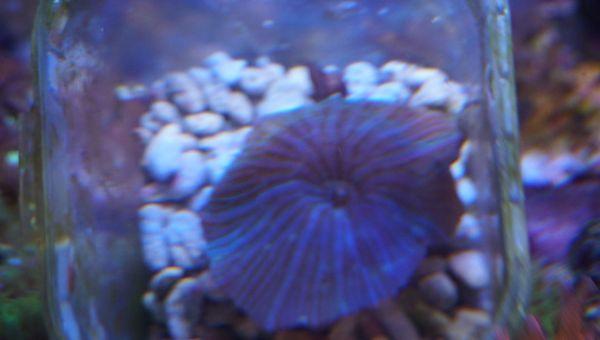 Scheibenanemone blau-gestreift Discosoma sp Koralle