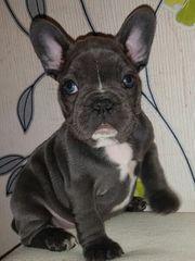 Französische Bulldoggen freiatmentAcak