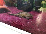 Fisch Saugschmerle