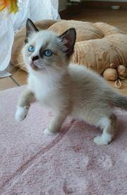 Zuckersüße Ragdoll-Mix Kitten ab 300