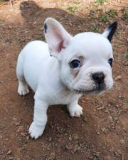 Wunderschöne Französische Bulldoggen