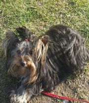 Yorkshire Terrier süsser Yorki