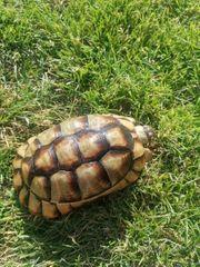 testudo marginata breitrandschildkröte landschildkröte Weibchen