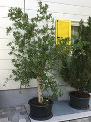 Olivenbaum Baum Thuje Smaragd-Thuja Lebensbaum