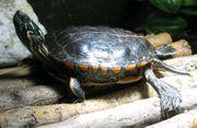 Rückenstreifen Zierschildkröte Chrysemys Picta Dorsalis