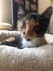 Katze EKH Kitten