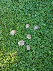 MaurischeLandschildkröte