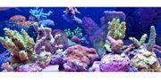 Meerwasser Korallen SPS Weiche und