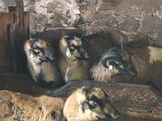 Kamerun Schafe zu verkaufen