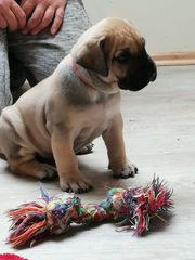 Dogo Canario Welpe
