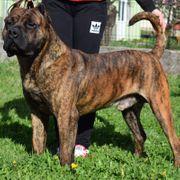 Schöner muskulöser Dogo Canario V1