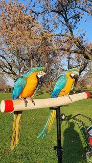 Zwei Gelbbrust Aras Hennen zu