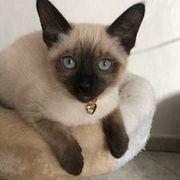 Siam Kitten Noch eine Kätzchen