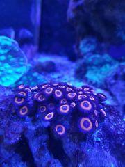 Beckenauflösung Meerwasser Korallen Zoanthus Gorgonie