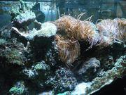 Korallen Kupferanemonen und Lebendgestein