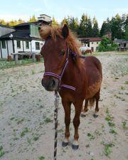 Shetty Shetland Pony Hengst geimpft