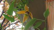 Clematis und Passionsblumen