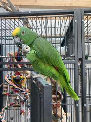 Gelbscheitelamazonen - Päärchen mit Käfig und