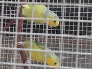 Gelbmaskensperlingspapageien