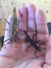tisamenus serratorius Gespenstschrecke adulte Tiere