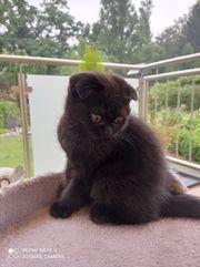 Perser Kitten Mix Katzenbaby Perser