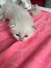 Wunderschöne Ragdoll Babies mit Stammbaum